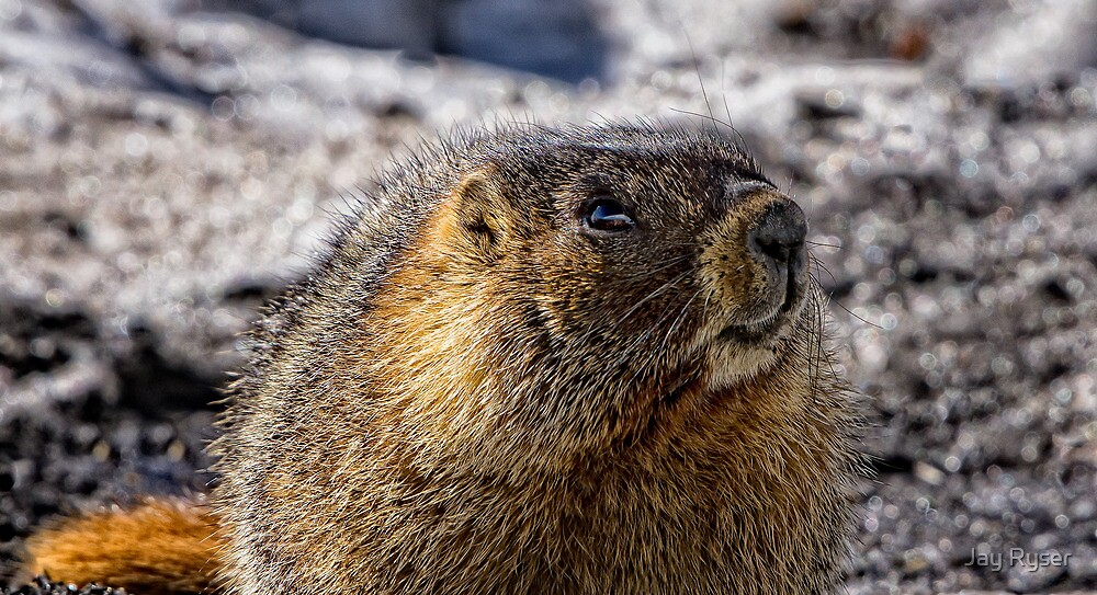 Cooperative for a Marmot by Jay Ryser