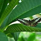 Blue Clipper Butterfly  by Tracey Hampton