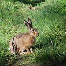 German Field Hare by Heidi Mooney-Hill