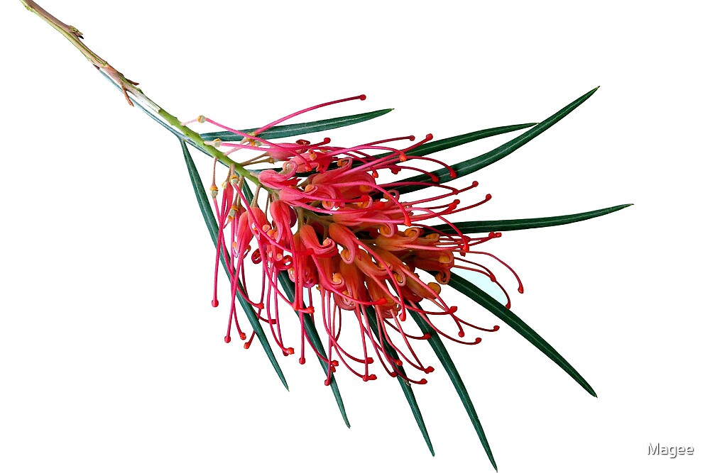 Another Grevillea by Magee