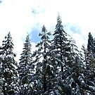 Snow topped trees-Sequias by AllisonRhodes