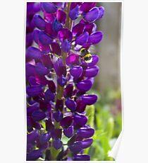 Purple Lupin Poster