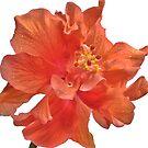 Orange Hibiscus - Close-Up by glennc70000