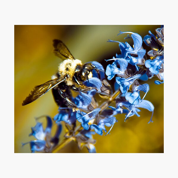 Bee Blue Photographic Print