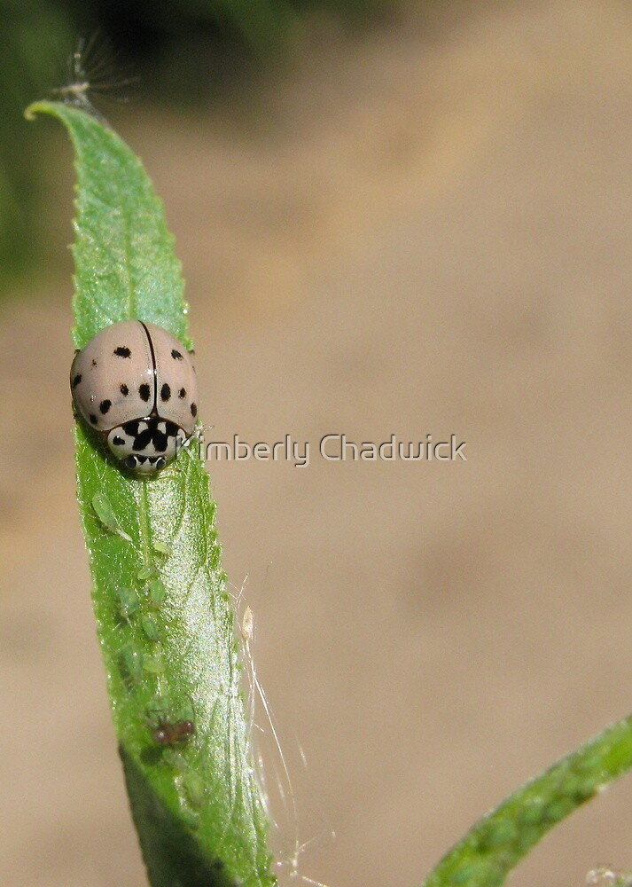 Ashy Gray Lady Beetle II (1 of 2 Color Forms) by Kimberly Chadwick