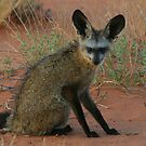 Bat-eared Fox by naturalnomad