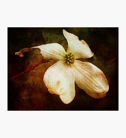 Dogwood (for Dreamflower) Fotodruck