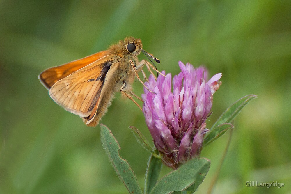 Large Skipper by Gill Langridge