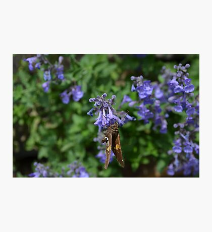 Brown and White Butterfly on Purple Flowers Photographic Print