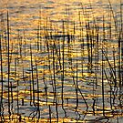 Golden Lake Ripples by Bo Insogna