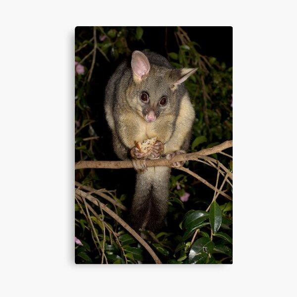 Common Brushtail Possum - Trichosurus vulpecula Canvas Print