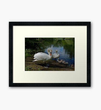 New Family Swan Framed Print