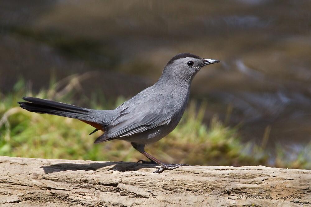 Gray Catbird by pond by PixlPixi