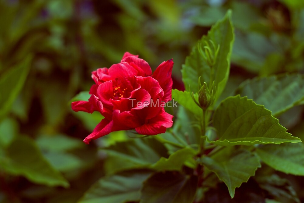 Red Hibiscus Flower by TeeMack