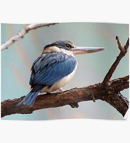 Mangrove Kingfisher Poster