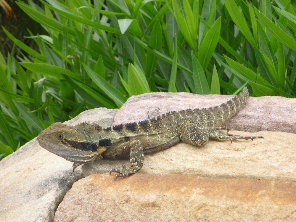 Lizard / Dragon by chikko