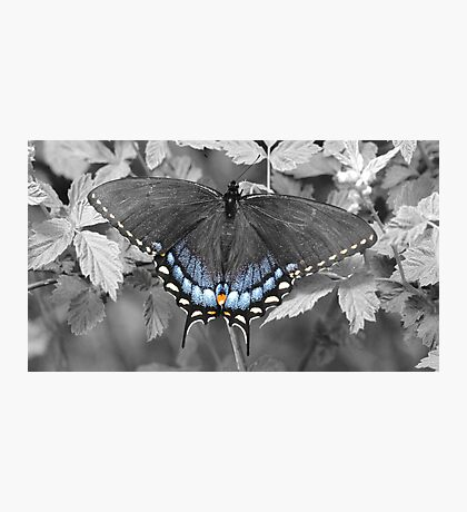 Female Swallowtail in selective color. Photographic Print