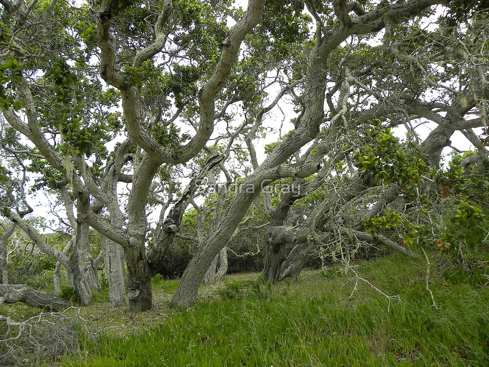 Oak Tree Grove at Ft. Ord by Sandra Gray