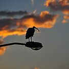 Ibis Sunset by BxPhotographics