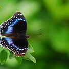 Blue Banded Eggfly (Hypolimnas alimena) by BxPhotographics