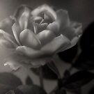 Misty Rose in Mono by Dianne English