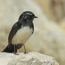 Willie Wagtail by Robert Abraham