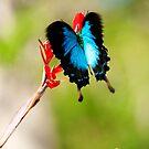 Gotchya - Ulysses Butterfly by Jenny Dean