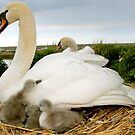 Swan family life by MWhitham