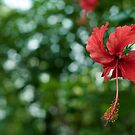 a hibiscus blossoms by Madhusudan