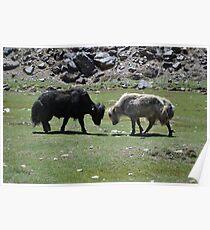 The Fighting Yaks - Himachal Pradesh, India Poster