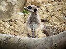 Meerkat by Audrey Clarke