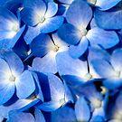 Blue Hydrangea by Jim Haley