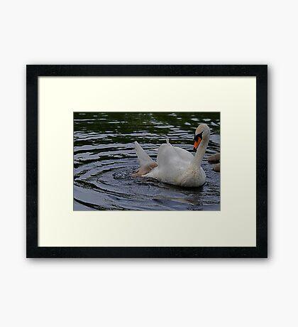 New Family Swan.- more 2 - Jockey Removal Framed Print