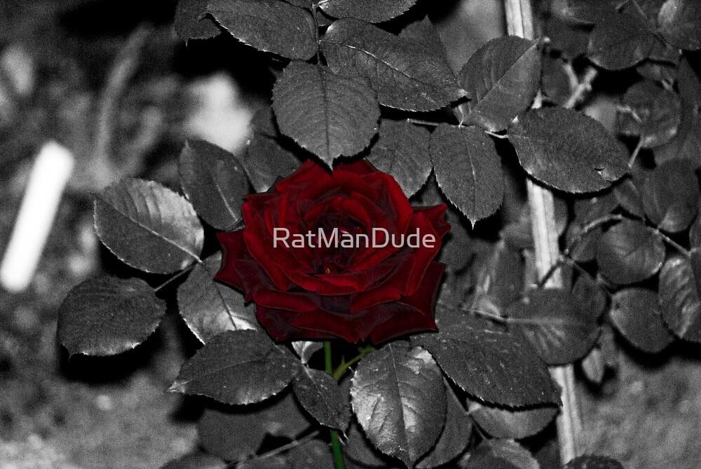 Red 'n Fragrant Rose - Hybrid Tea by RatManDude