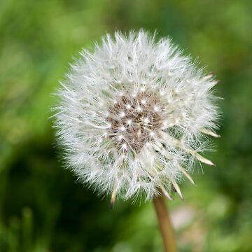 Dandelion by aislingk