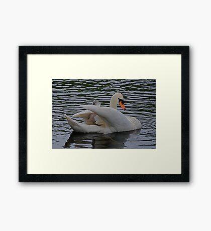 New Family Swan.- more 2 - Jockey Removal 3 Framed Print