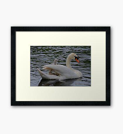 New Family Swan - I Give Up!!! Framed Print
