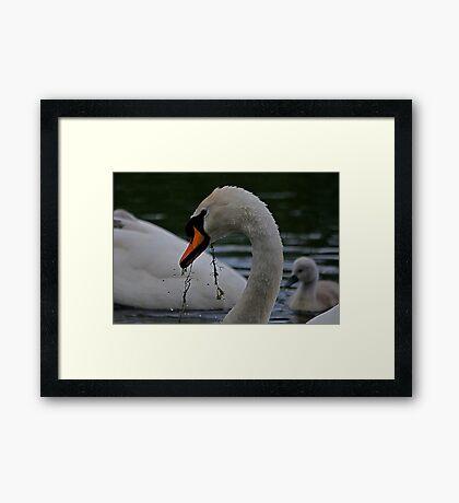 New Family Swan - Feeding Lessons Framed Print