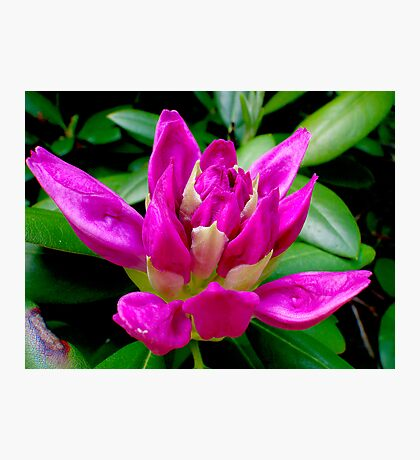 Rhododendron on the Verge  Photographic Print