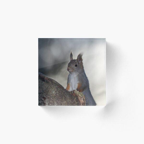 Dualistic light. Eurasian red squirrel Acrylic Block