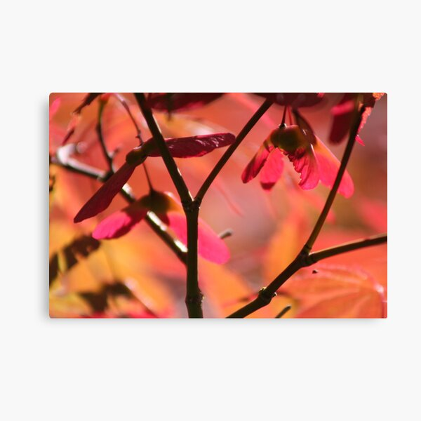 Japanese maple in the fall, Mayne Island, BC Canvas Print
