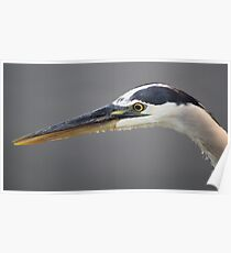 Great Blue Heron Close Up Poster