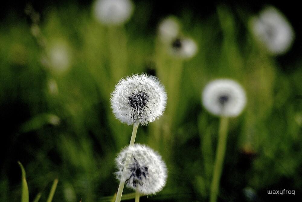 Dandelion Field. (Best viewed large) by waxyfrog