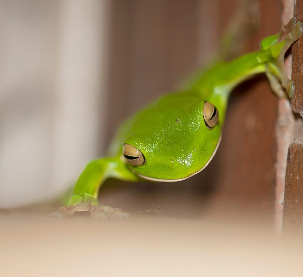 Kermit - green tree frog by Jenny Dean
