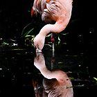 Chilean Flamingo by Cindy McDonald