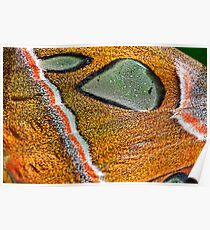 sphynx moth close up Poster