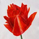 Orange Emperor Tulip by Susan Duffey