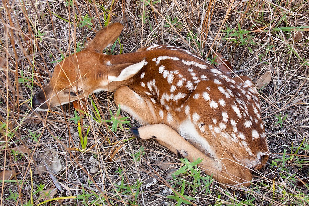 Hiding in Texas Hill Country grass by Robert Kelch, M.D.