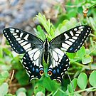 Anise swallowtail butterfly (Papilio zelicaon) by John Keates