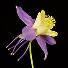 Yellow Purple Columbine Flower by Bo Insogna